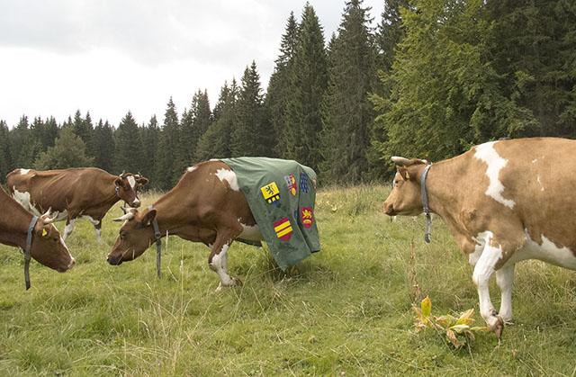 Jean Bonichon - Tunique suisse pour vache normande, 2015